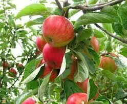 Fruit Tree Apple Fuji (7 gallon) $119.99