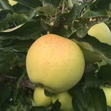Fruit Tree Apple Golden Gibson (7 gal.) $79.99