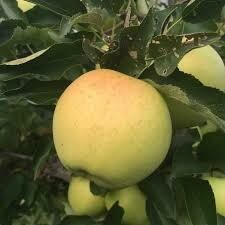 Fruit Tree Apple Golden Gibson (7 gallon) $79.99