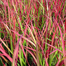 Grass Imperata Red Baron Japanese Blood (gallon perennial) $19.99