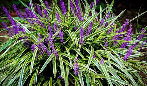 Grass Liriope Silvery Sunproof  Variegata Lilyturf (gallon perennial) $19.99
