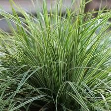 Grass Calamagrostis Feather Reed Lightning Strike (gallon perennial) $12.99