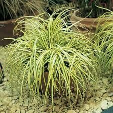 Grass Carex Everlime/Evergold (gallon perennial) $19.99