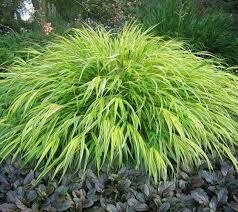Grass H.M. All Gold (gallon perennial) $24.99