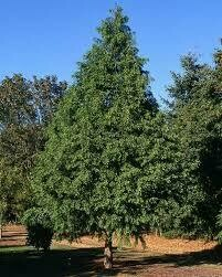 Redwood Dawn (8-10' b/b) $189.99