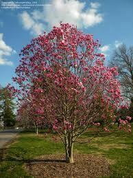 Magnolia x Galaxy (5 gallon) $99.99