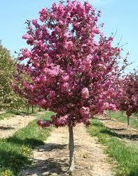 Crabapple Purple Prince Malus $149.99