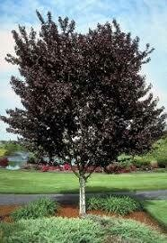 Prunus Newport Plum (7 gallon) $119.99