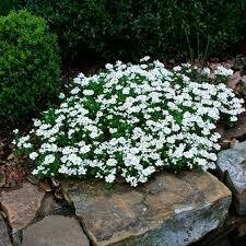Iberis sempervirens CANDYTUFT Snowflake (quart perennial) $6.99