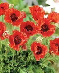 Papaver Allegro Oriental Poppy (quart perennial) $9.99