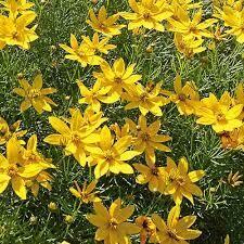 Coreopsis ZAGREB Tickseed (gallon perennial) $9.99