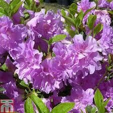 Azalea Elsie Lee (3 gallon) $49.99