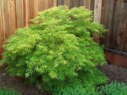"Maple Virdis GREEN Laceleaf  Japanese (7 gallon 36"") $199.99"