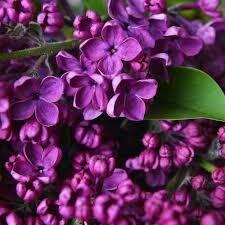 Lilac Syringa Ludwig Spaeth (3 gallon) $39.99