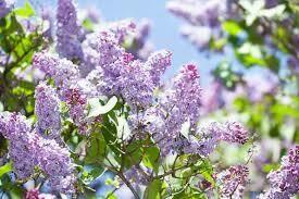 Lilac Syringa Vulgaris (3 gallon shrub)