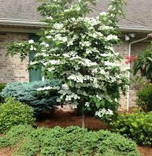 Dogwood Cornus x Venus (5 gallon tree) $129.99