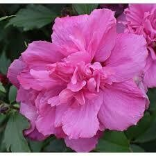 Hibiscus Lucy Rose of Sharon (3 gallon) $39.99