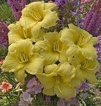 Hemerocallis Going Bananas Daylily (gallon perennial) $19.99