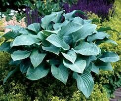 Hosta Krossa Regal (gallon perennial) $12.99