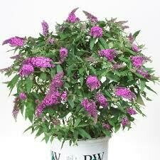 Buddleia PUGSTER BLUE Butterfy Bush (3 gallon perennial) $34.99