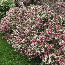 SALE! Weigela Chechmark Trilogy $19.99 (Regular Price $34.99)