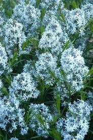 Amsonia Arkansas Blue Star (quart perennial) $6.99