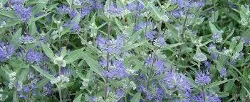 Caryopteris Dark Knight Blue Mist Shrub (2 gallon perennial) $24.99
