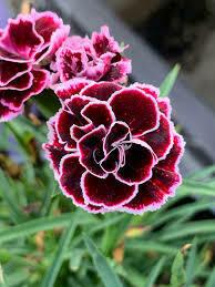 Dianthus Odessa Pierrot Cheddar Pinks (quart perennial) $9.99