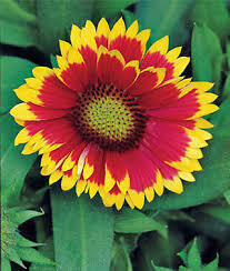 Gaillardia Arizona SUN Blanket Flower (quart perennial) $9.99