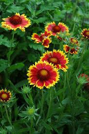 Gaillardia GOBLIN Blanket Flower (quart perennial) $6.99