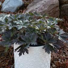 Geranium BOOM CHOCOLATTA Meadow Cranesbill (gallon perennial) $22.99
