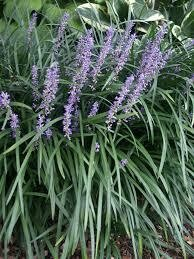 Grass Liriope BIG BLUE/Spicata/Royal Purple Lilyturf (gallon perennial) $19.99