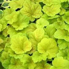 Heuchera Electric Lime Coral Bells (gallon perennial) $18.99
