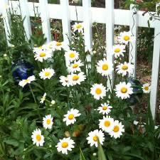 Leucanthemum Becky Shasta Daisy (quart perennial) $9.99