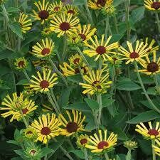 Rudbeckia Little Henry Quilled Dwarf (gallon perennial) $15.99