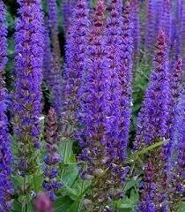 Salvia May Night (quart perennial) $6.99