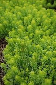 Sedum ANGELINA Stonecrop (quart perennial) $6.99