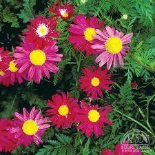Tanacetum Robinson's Mix Painted Daisy (quart perennial) $9.99