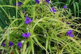 Tradescantia Sweet Kate Spiderwort (gallon perennial) $18.99