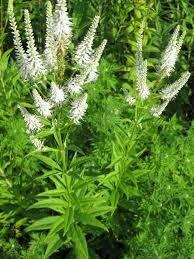 Veronicastrum Culver's Root (quart perennial) $6.99