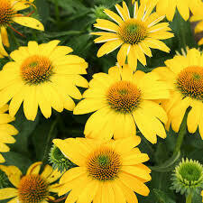 Echinacea Sombrero Lemon Yellow Imp Coneflower (gallon perennial) $18.99