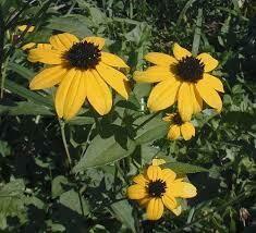 Rudbeckia BROWN Eyed Susan (quart perennial) $6.99