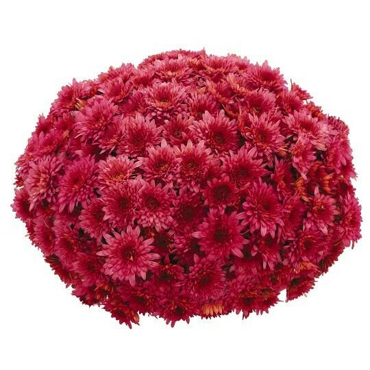 """Mum Vitamum Darling Pink (9"""" pot) $8.99"""