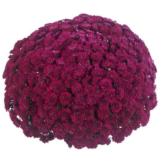 """Mum Vitamum Festive Purple (9"""" pot) $8.99"""