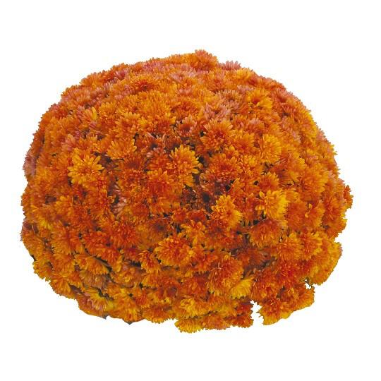 "Mum Vitamum Kick Orange (9"" pot) $8.99"