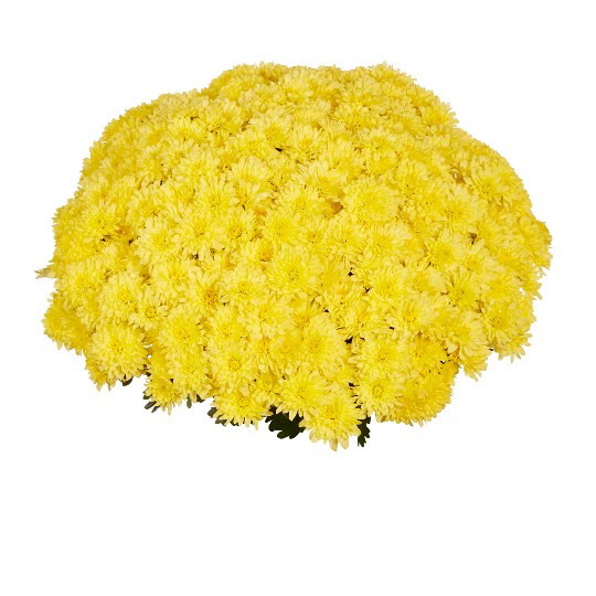 "Mum Homerun Yellow (9"" pot) $8.99"