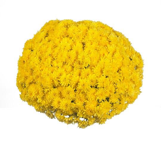 """Mum Vitamum Desire Golden (9"""" pot) $8.99"""