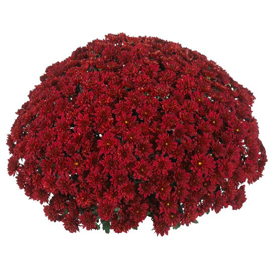 "Mum Vitamum Cheer Red (9"" pot) $8.99"