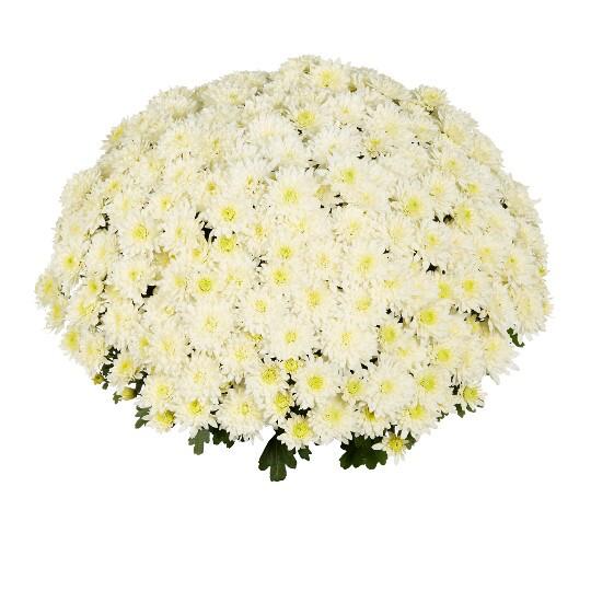 """Mum Homerun White (9"""" pot) $8.99"""