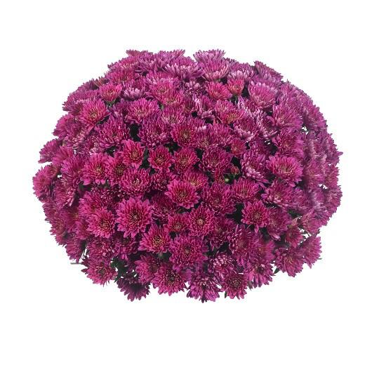 "Mum Vitamum Ecstatic Purple (9"" pot) $8.99"